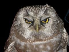 Pärluggla Aegolius funereus Tengmalm's Owl