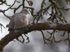 Turkduva Streptopelia decaocto Eur, Collared Dove