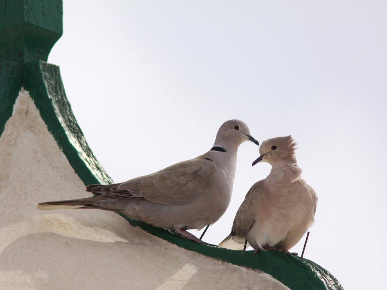 Turkduva Streptopelia decaocto både hörs och ses överallt I Maspalomas, Gran Canaria.