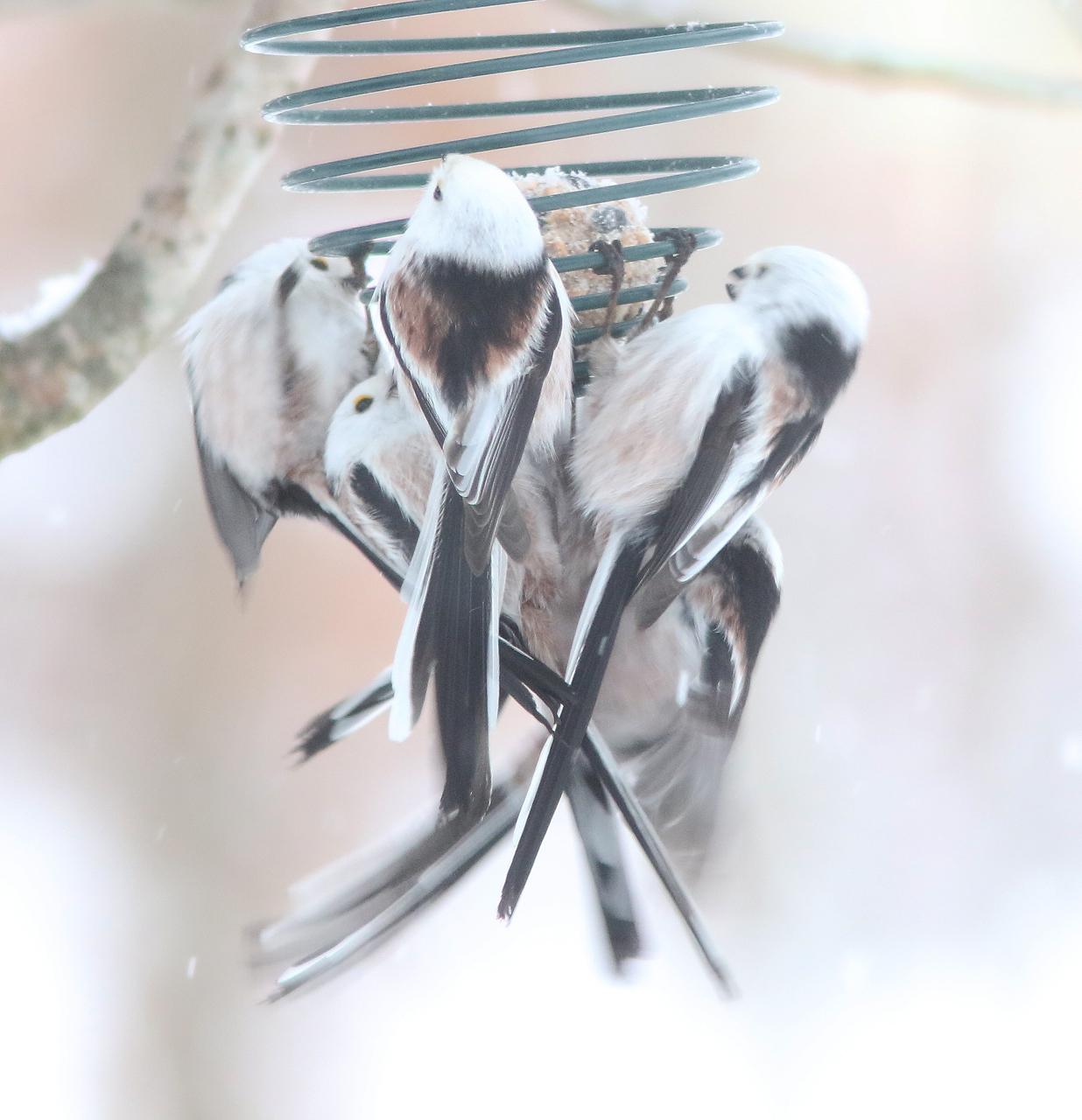 Stjärtmesar Aegithalos caudatus kalasar som alltid helt utan bråk på talgbollarna i trädgården i Växjö
