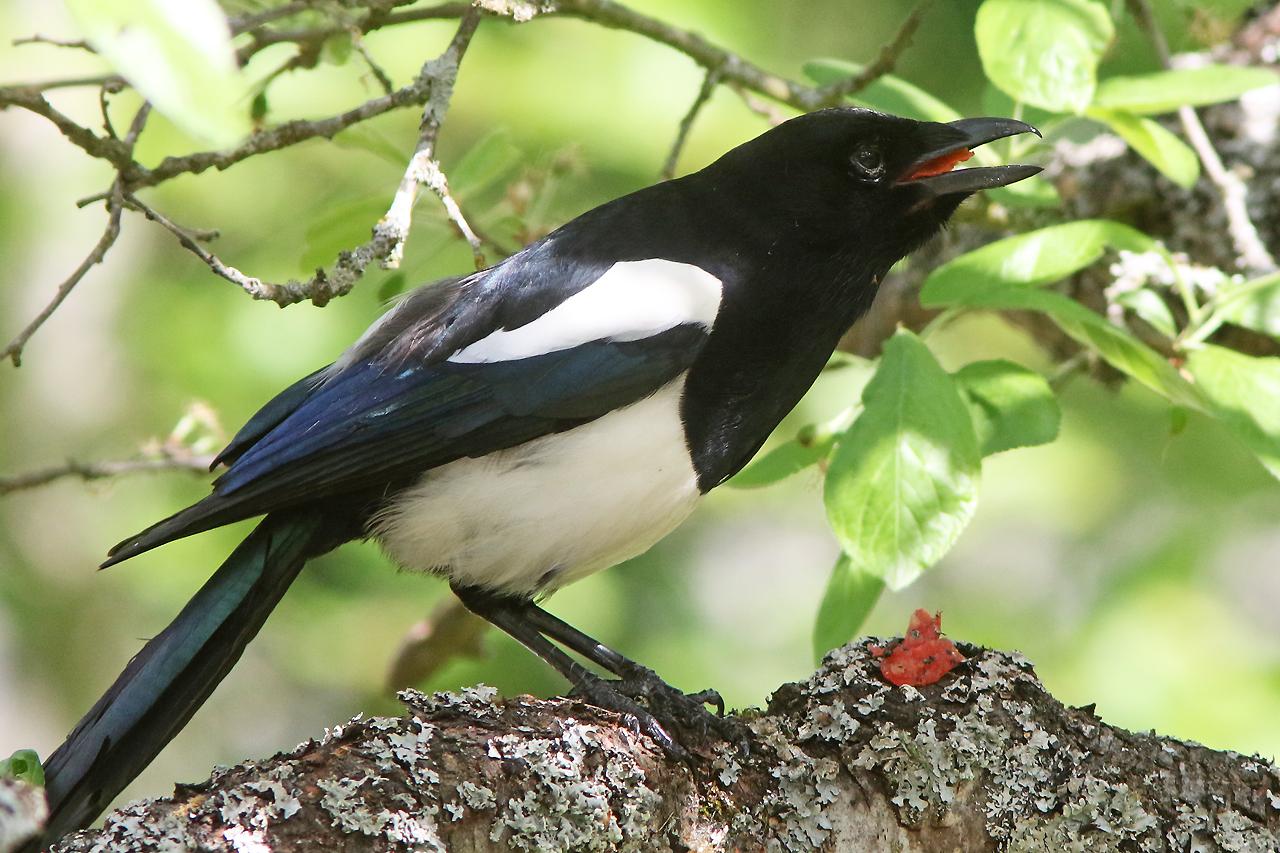 Skata (Pica pica) en fågel som alltid hittar något gott.