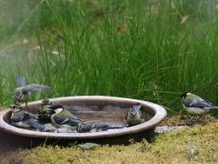 Talgoxar (Parus major) och blåmes ( cyanistes caeruleus) samsas i badet, Västernäs, Blekinge.