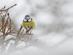Blåmes (Cyanistescaeruleus) vid vintermatningen