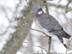 Ringduva (Columba palumbus) vid fågelmatningen.