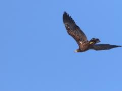 Havsörn Haliaeetus albicilla White-tailed Eagle