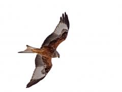 Rödglada Milvus milvus Red Kite