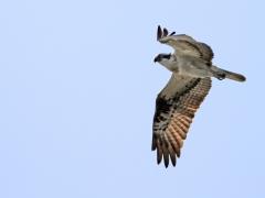 Fiskgjuse Pandion haliaetus Osprey