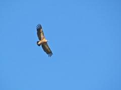 Gåsgam (Gyps fulvus, Eur. Griffon Vulture ) Monfrague, Spain.