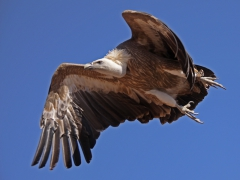 Gåsgam Gyps (Fulvus Eur. Griffon Vulture) Bird show Gran Canaria