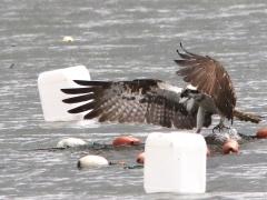 Fiskgjuse i snöväder (Pandion haliaetus, Osprey) . S. Bergundasjön, Bokhultet NR, Växjö, Sm.