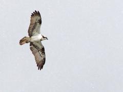 Fiskgjuse (Pandion haliaetus, Osprey) i snöväder.