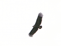 Grågam Aegypius monachus Eur. Black Vulture (Spain)
