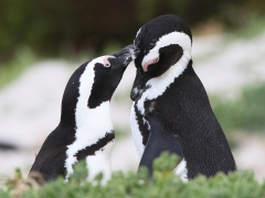 Sydafrikansk pingvin (Spheniscus demersus, African Penguin).