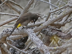 Kapbulbyl (Pycnonotus capensis, Cape Bulbul).