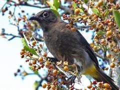 Kapbulbyl (Pycnonotus capensis, Cape Bulbul). Kirstenbosch Botanical Garden.
