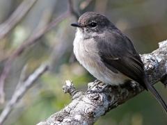 Mörkgrå flugsnappare (Muscicapa adusta, African Dusky Flycatcher). Kirstenbosch Botanical Garden.