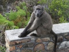 I södra Afrika finns  Chacmababianen som  den största av babianerna och hannarna kan väga upp till 45 kg.
