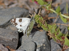 Grönfläckig vitfjäril (Pontia daplidice, Bath White) Maspalomas, Gran Canaria.