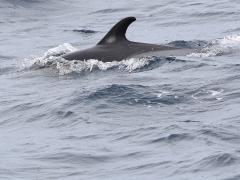 Delfin Maspalomas, Gran Canaria, Spain.