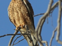 Tornfalk (Falco tinnunculus, Common Kestrel) Maspalomas, Gran Canaria, Spain.