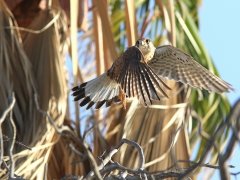 Tornfalk Falco tinnunculus Common Kestrel