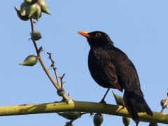 Koltrast Turdus merula Common Blackbird