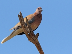 Palmduva Streptopelia senegalensis Laughing Dove