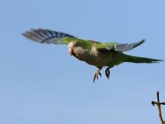 Munkparakit Myiopsitta monachus Monk Parakeet