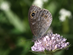 Vitgräsfjäril Lasiommata maera