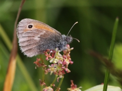 Kamgräsfjäril Coenonympha pamphilus Small Heath
