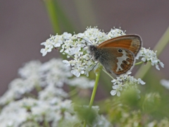Pärlgräsfjäril (Coenonympha arcania, Pearly Heath) Alderängarna, Mora, Dlr.