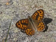 Svingelgräsfjäril (Lasiommata megera, Wall Brown) Västernäs, Ramdala, Bl.