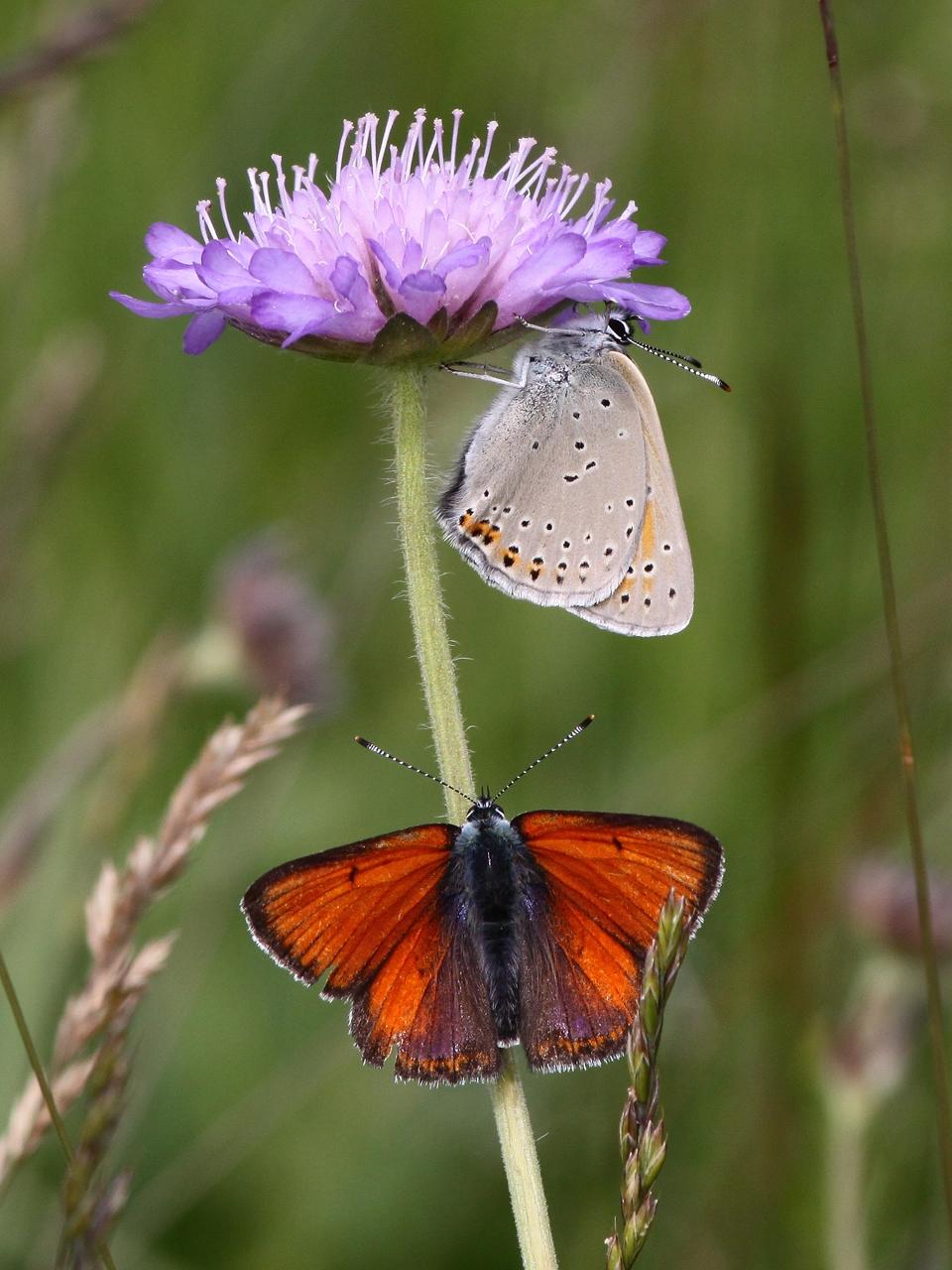 Violettkantad guldvinge par Lycaena hippothoe Purple Edged Copper