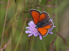 Violettkantad guldvinge Lycaena hippothoe Purple Edged Copper
