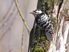 Mindre hackspett,hona (Dendrocopos minor, Lesser Spotted Woodpecker) Härlöv, Kristianstad kommun,  Sk.