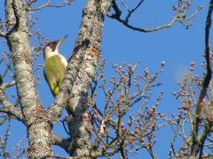 Gröngöling Picus viridis Eur. green Woodpecker