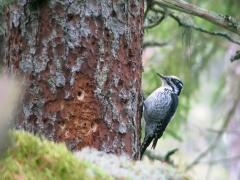 Tretåig hackspett Picoides tritridactyus Three-toed Woodpecker