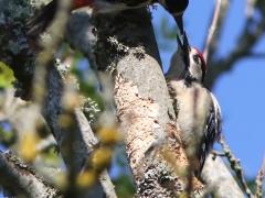 Större hackspett, hane + juv (Dendrocopos major, Great Spotted Woodpecker) Västernäs, Ramdala, Bl.