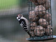 Mindre hackspett hane Dendrocopos minor Lesser Spotted Woodpecker