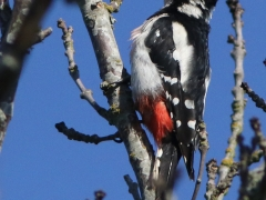 Större hackspett hane Dendrocopos major Great Spotted Woodpecker