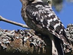 Mindre hackspett juv Dendrocopos minor Lesser Spotted Woodpecker