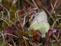 Colias werdandi (tyche) Pale Arctic Clouded Yellow