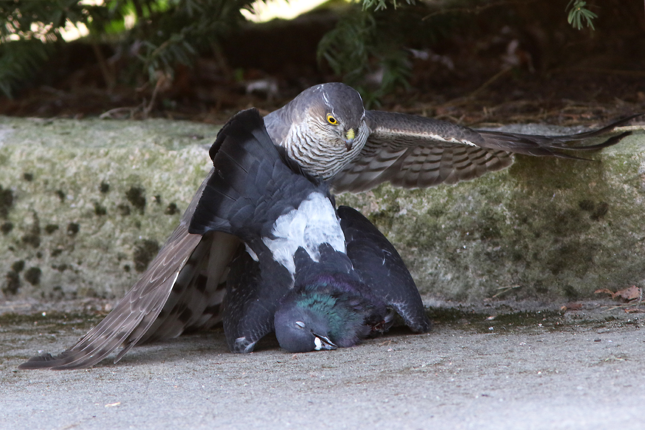 Sparvhök Accipiter nisus Eur. Sparrowhawk