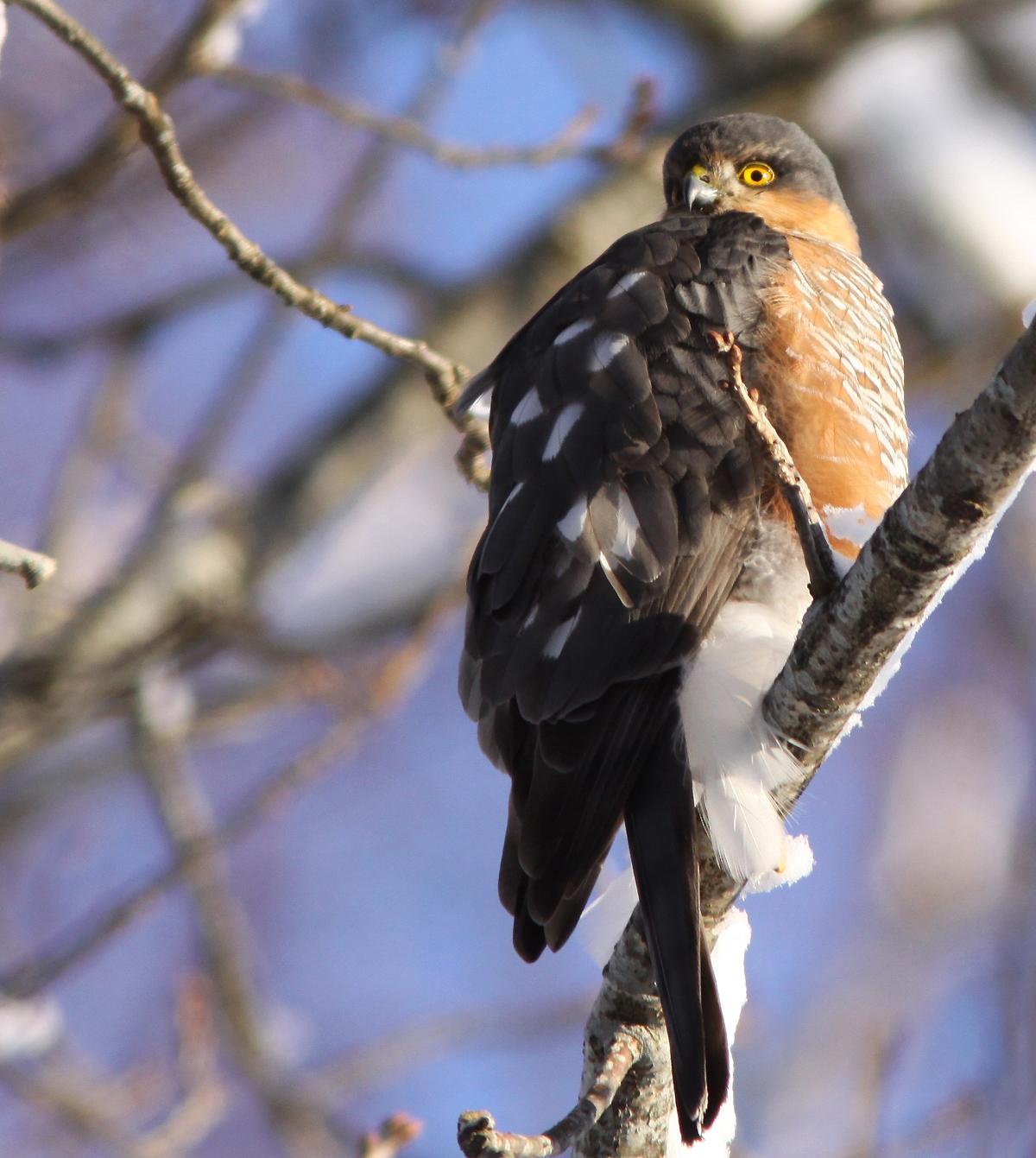 Sparvhök, hane (Accipiter nisus, Eur. Sparrowhawk) Söder, Växjö, Sm.