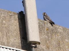 Pilgrimsfalk (Falco peregrinus, Peregrine Falcon) Åhus, Sk.