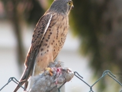 Tornfalk Falco tinnunculus Common Kestrel med turkduva Streptopelia decaocto  (Grand  Canaria)