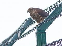 Sparvhök (Accipiter nisus, Eur. Sparrowhawk) Ramdala, Bl.