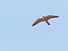 Lärkfalk Falco subbuteo Eurasian Hobby (Poland)