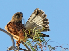 Tornfalk Falco tinnunculus Common Kestrel  (Grand  Canaria)