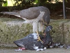 Sparvhök, hona (Accipiter nisus, Eur. Sparrowhawk) med tamduva (Columba livia, domest.)  Söder, Växjö, Sm.